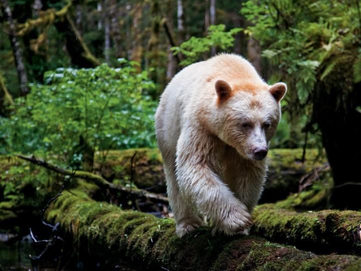американские индейцы называют это животное медведем призраком
