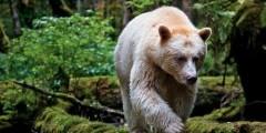 Неужели медведь-призрак?