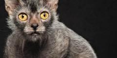 Жутко-милые кошки-оборотни (ФОТО)