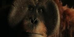 Планета обезьян: Война. Русский отрывок